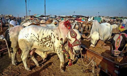 NCOC bans sale, purchase of sacrificial animals inside city across the country