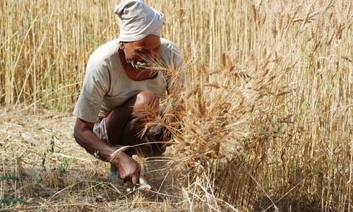 گندم کی قیمت میں اضافے کے باوجود کاشتکاروں کو ریلیف نہ مل سکا