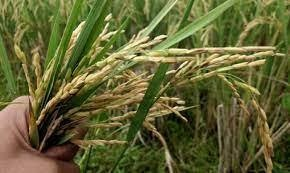 Farmers are reviving ancestral varieties and creating new ones that can withstand increasingly frequent storms, floods and droughts. Reuters