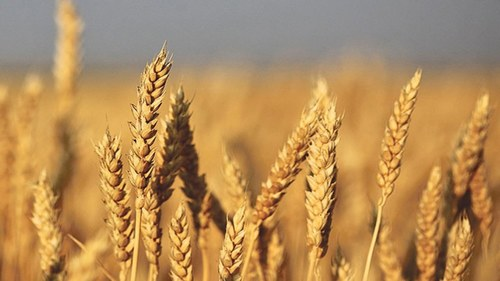 گندم کے بحران کے خدشے کا اظہار