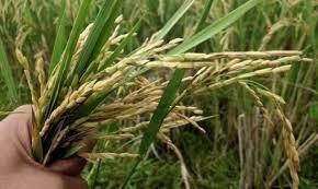Bangladesh rice farmers invent new varieties to withstand salt, storms