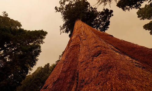 کیلی فورنیا: دنیا کے سب سے بڑے درخت کو آگ کی لپیٹ میں آنے کا خطرہ