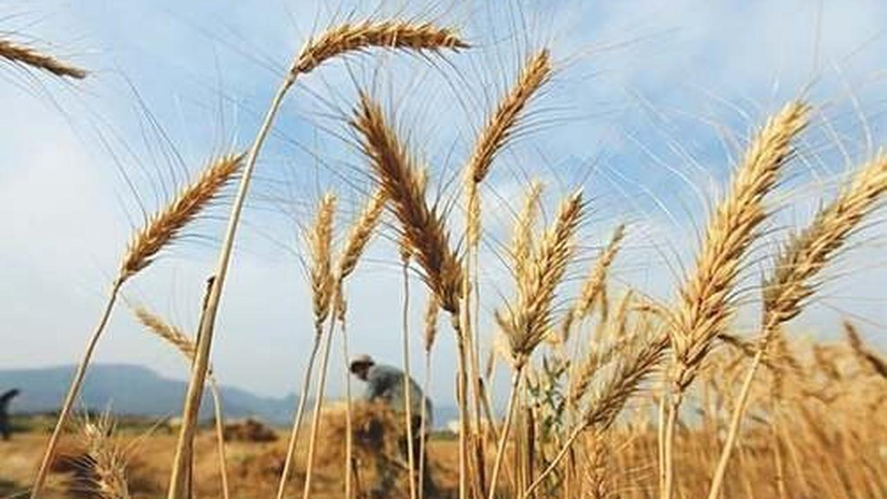 Pakistan has regularly bought wheat in the global market in past months in moves to improve tight local supplies and cool prices. Reuters