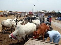 سندھ حکومت کی صوبے بھر میں مویشی منڈیاں قائم کرنے کی اجازت