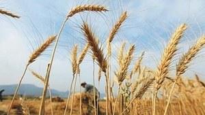 Pakistan tenders to buy 640,000 tonnes wheat